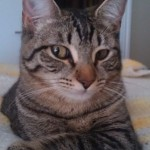 Minnie - Domestic Short Hair / Tabby