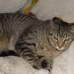 Jessa - Domestic Short Hair