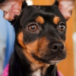 Lily - Miniature Pinscher