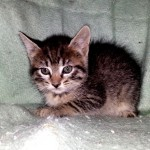 Elysia - Domestic Short Hair / Tabby