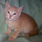 Eric - Domestic Short Hair / Tabby