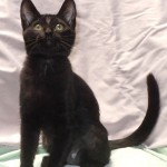 Roxanne - Domestic Short Hair