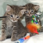 A Babies Females - Domestic Short Hair