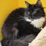 Greta - Domestic Long Hair