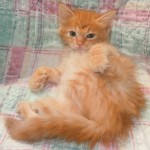 Quanika - Domestic Medium Hair