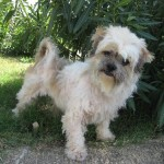 Wilson - Lhasa Apso / Brussels Griffon [Mix]