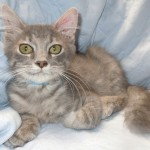 Greystoke - Domestic Short Hair
