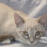 Jeremiah - Siamese / Domestic Short Hair [Mix]