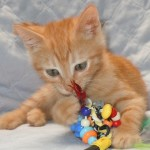 Quest - Domestic Short Hair / Tabby