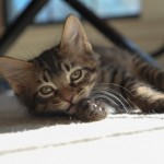 Baby Squash - Tabby / Domestic Short Hair [Mix]
