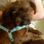 Wally - Lhasa Apso / Brussels Griffon [Mix]