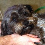 Lucky - Lhasa Apso / Brussels Griffon [Mix]