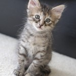 Baby Lettuce - Dilute Calico / Tabby [Mix]