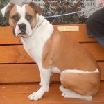 Bonnie - Boxer / Bulldog [Mix]