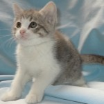 Odella - Domestic Short Hair