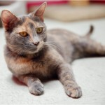 Darlene - Domestic Short Hair