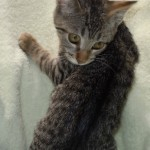 Fawn - Domestic Short Hair