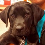 Lucy - Labrador Retriever / Shepherd [Mix]