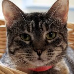 Carina - Domestic Short Hair