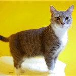 Glenda - Domestic Short Hair