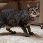 Melinda - Domestic Short Hair