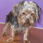 Russell - Yorkshire Terrier Yorkie