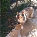 Madeline - Domestic Long Hair / Calico