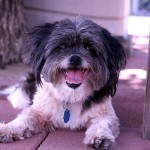 Cisco - Lhasa Apso / Shih Tzu [Mix]