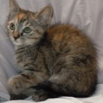 Rain - Domestic Short Hair / Tabby