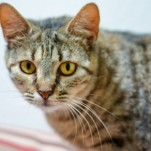 Rainbow - Domestic Short Hair / Tabby