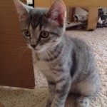 Xanthia - Domestic Short Hair