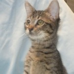 Ellie - Domestic Short Hair