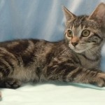 Sabrina - Domestic Short Hair