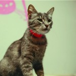 Olivia - Domestic Short Hair