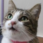 Mary Ann - Domestic Short Hair
