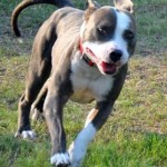 Tigger - American Pit Bull Terrier [Mix]