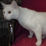 Snowlene - Domestic Short Hair