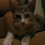 Romy - Domestic Short Hair