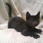 Lottery - Domestic Short Hair