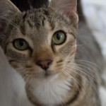 Riley - Domestic Short Hair