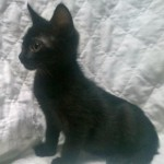 Neci - Domestic Short Hair