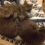 R Kittens - Domestic Long Hair