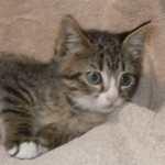 Impala - Tabby / Domestic Short Hair