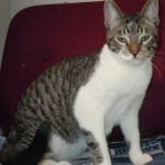 Colonel - Domestic Short Hair / Tabby