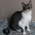 Tye - Domestic Short Hair / Tabby