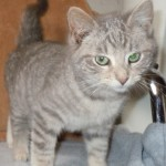 Honeycrisp - Domestic Short Hair / Tabby