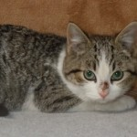 Crispin - Domestic Short Hair / Tabby