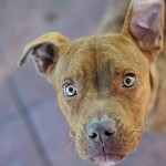Roxy - American Pit Bull Terrier [Mix]