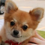 Ringo (little) - Pomeranian