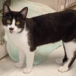 Patches - Domestic Short Hair